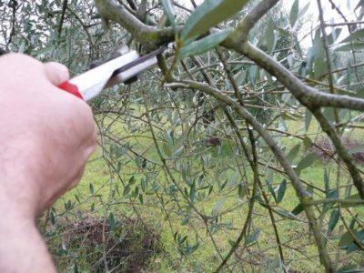 Una giornata tra gli olivi, la Potatura